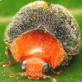Un insecto amigo: el Cryptoleamus montrouzieri